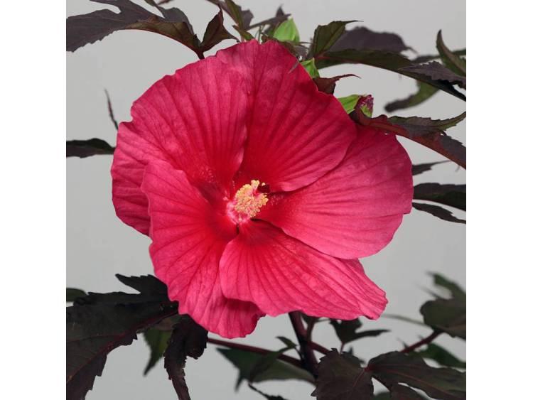 Ketmia bylinowa Carousel Pink Passion ®