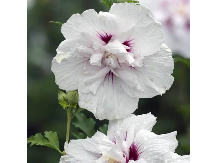 Ketmia syryjska (hibiskus) China Chiffon ®