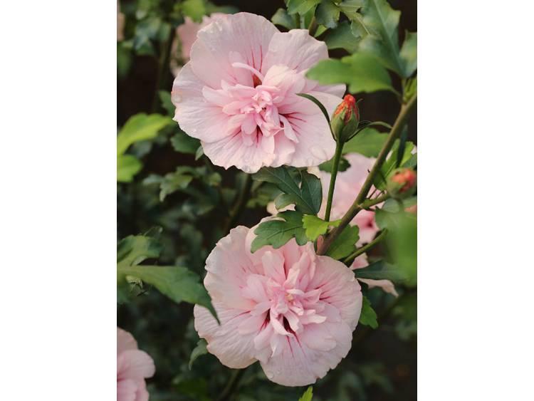 Ketmia syryjska (hibiskus) Pink Chiffon ®