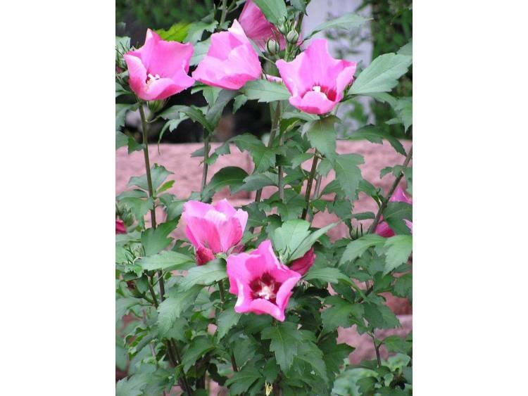 Ketmia syryjska Pink Giant