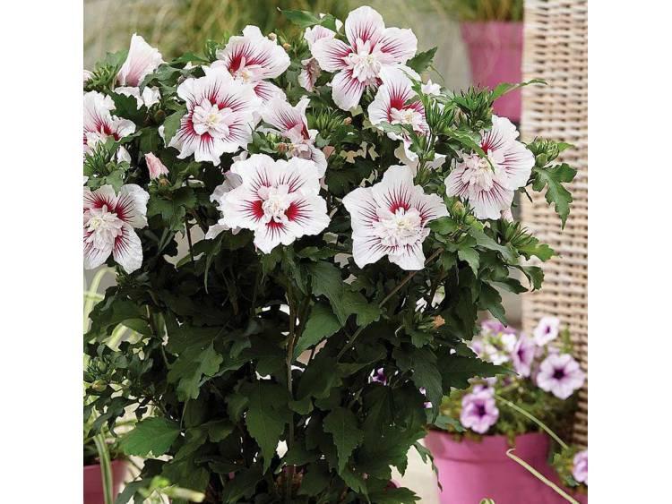 Ketmia syryjska (hibiskus) Starburst Chiffon ®