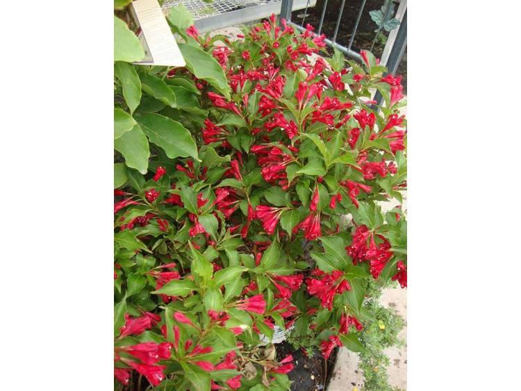 Krzewuszka Red Prince
