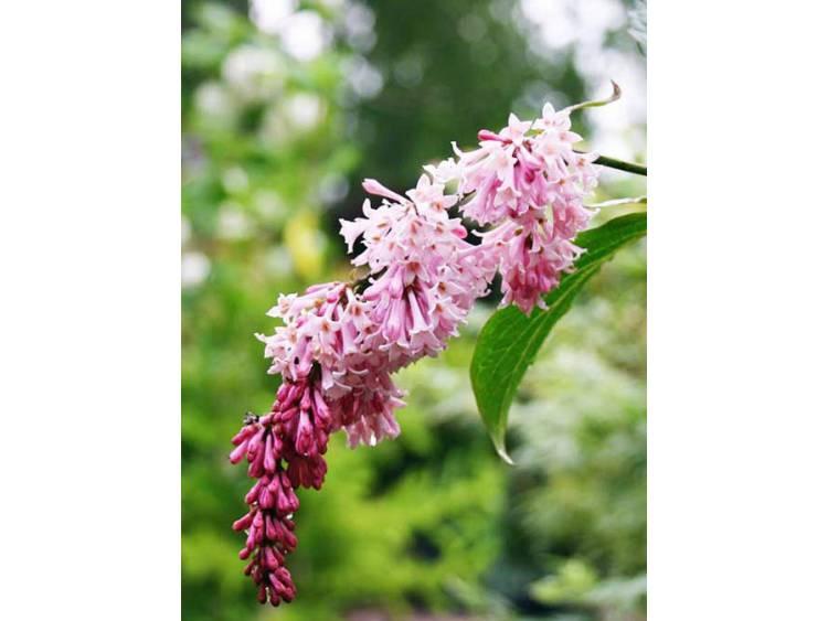 Lilak zwisający