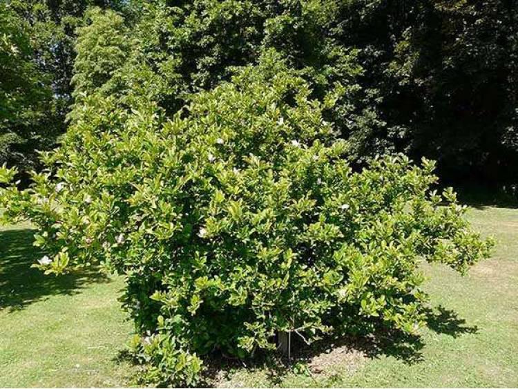 magnolia george henry kern efektowne kwiaty sadzonki. Black Bedroom Furniture Sets. Home Design Ideas