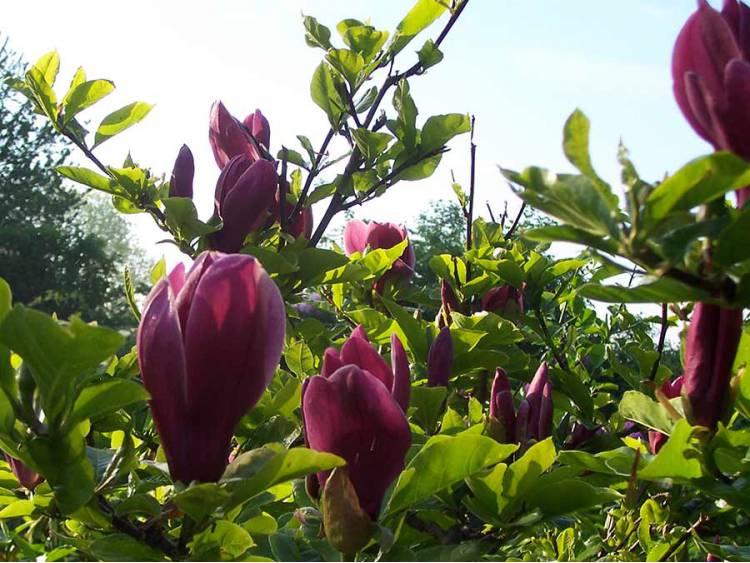 Magnolia 'Nigra' P9