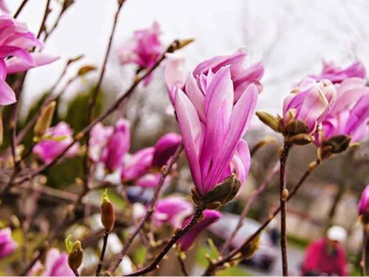 Magnolia Susan