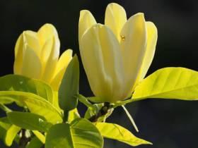 Magnolia brooklińska Yellow Bird ŻÓŁTA