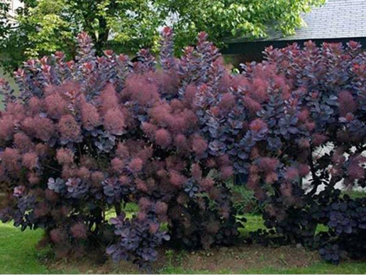Perukowiec podolski Royal Purple
