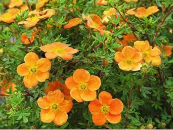 Pięciornik krzewiasty Orangeade