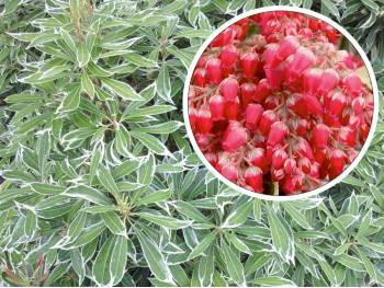 Pieris Variegata RED