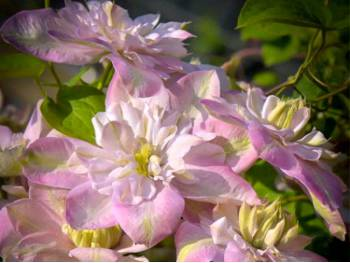 Powojnik Clematis Innocent Blush ®