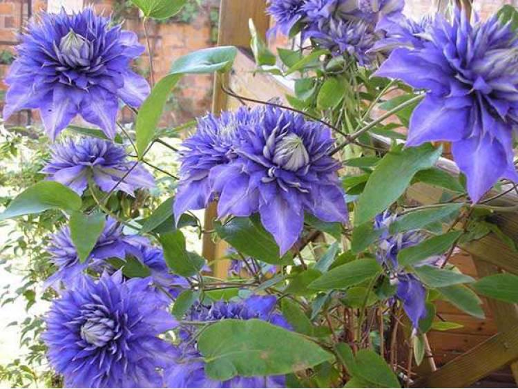 Powojnik (clematis) 'Multi Blue' C2