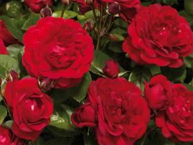 Róża Capricia Renaissance ® PARKOWA PACHNĄCA