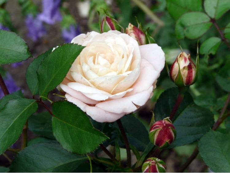 Róża 'Carcassonne Castle' RABATOWA C4