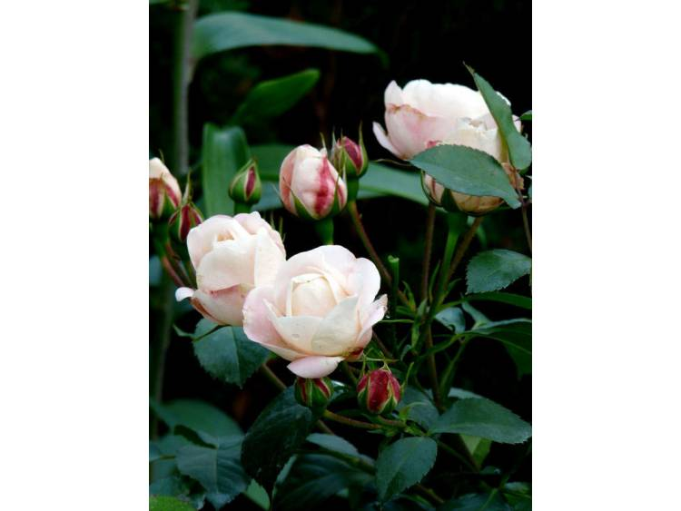 Róża 'Carcassonne Castle' ® RABATOWA C4