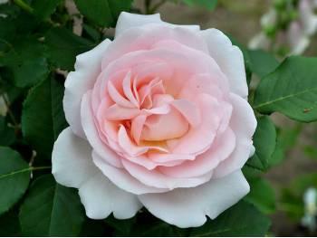 Róża Clair Renaissance ® PARKOWA PACHNĄCA