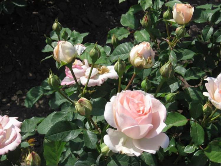 Róża 'Clair Renaissance' ® PACHNĄCA C4