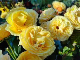 Róża rabatowa Eze ®