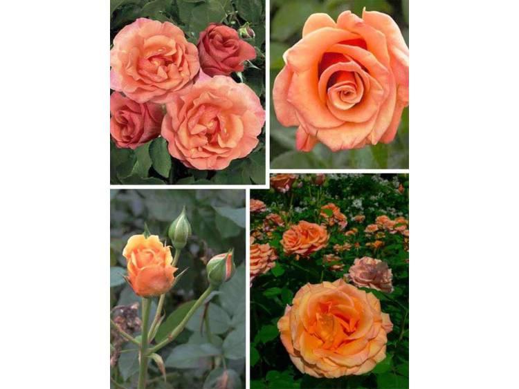 Róża 'Fabulous National Parks' ® WIELKOKWIATOWA C4