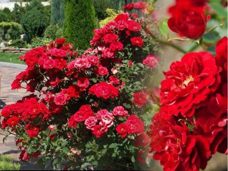 Róża miniaturowa FAIRY DANCE Harward