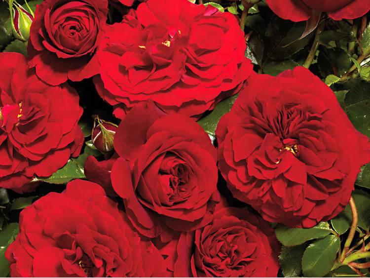 Róża Farruca Courtyard ® PNĄCA