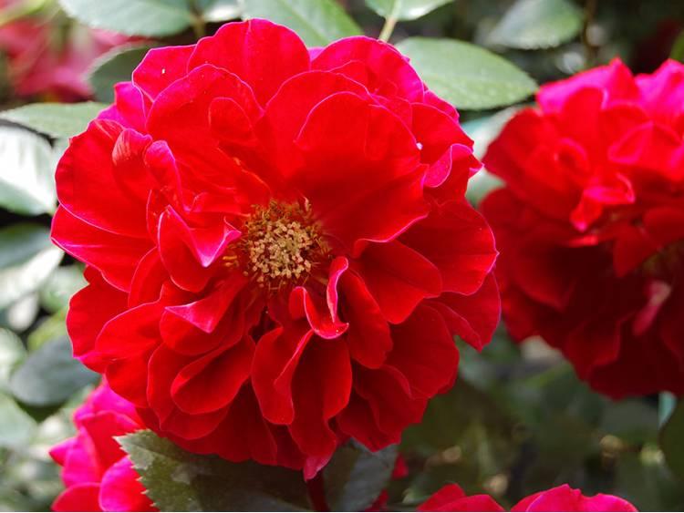 Róża 'Farruca Courtyard' PNĄCA C4