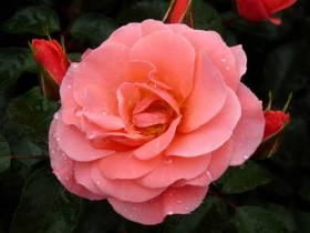 Róża rabatowa Fredensborg ®