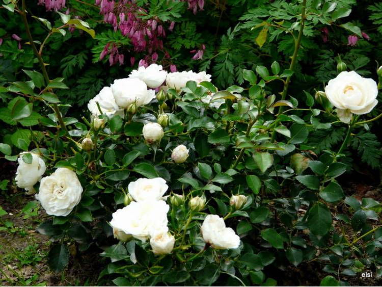 Róża 'Kailani Castle' RABATOWA C4 E