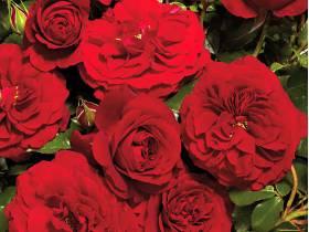 Róża pnąca CZERWONA