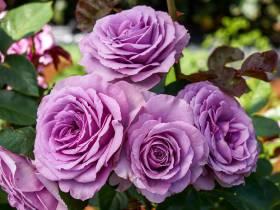 Róża pnąca FIOLETOWA