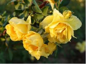 Róża pnąca ŻÓŁTA