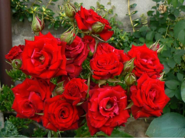 Róża 'Potala Castle' ® RABATOWA C4 E