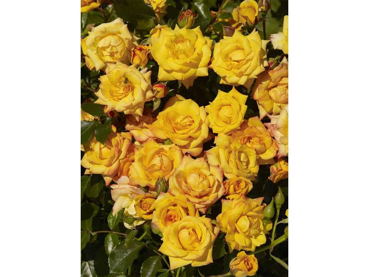Róża 'Redova Courtyard' ® PNĄCA C4