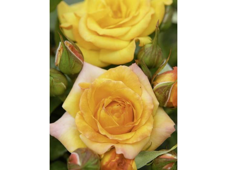 Róża 'Redova Courtyard' PNĄCA C4