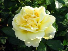 Róża rabatowa Sunstar ®