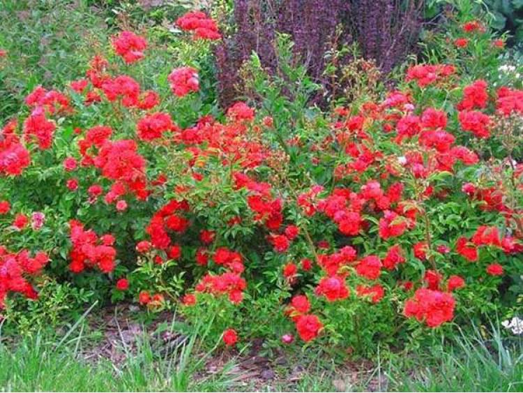 Róża miniaturowa The Fairy Red