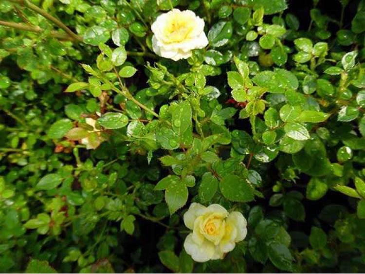 Róża miniaturowa The Fairy Yellow