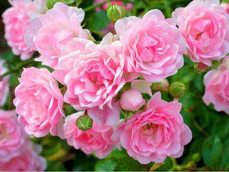 Róża miniaturowa The Fairy