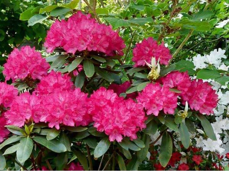 Różanecznik 'Astrid' C3