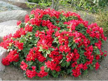 Różanecznik Bengal