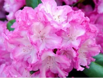 Różanecznik Blurettia