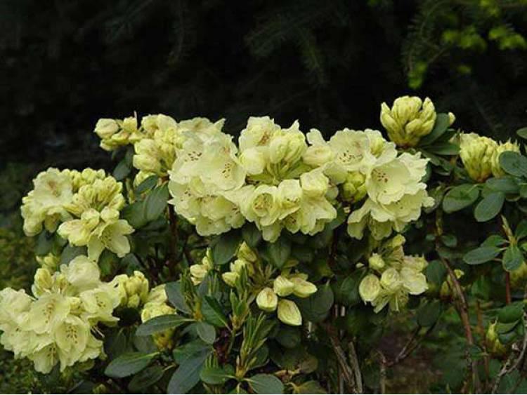 Różanecznik 'Goldkrone'