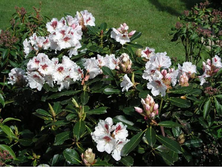 Różanecznik Nishan
