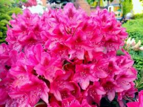 Różanecznik Nova Zembla