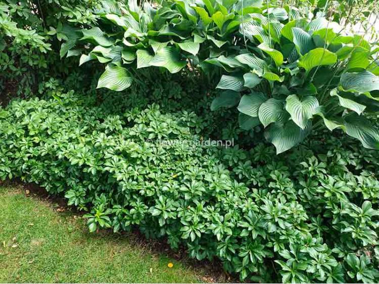 Runianka japońska 'Green Carpet' P9