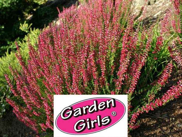 Wrzos Aphrodite ® Garden Girls