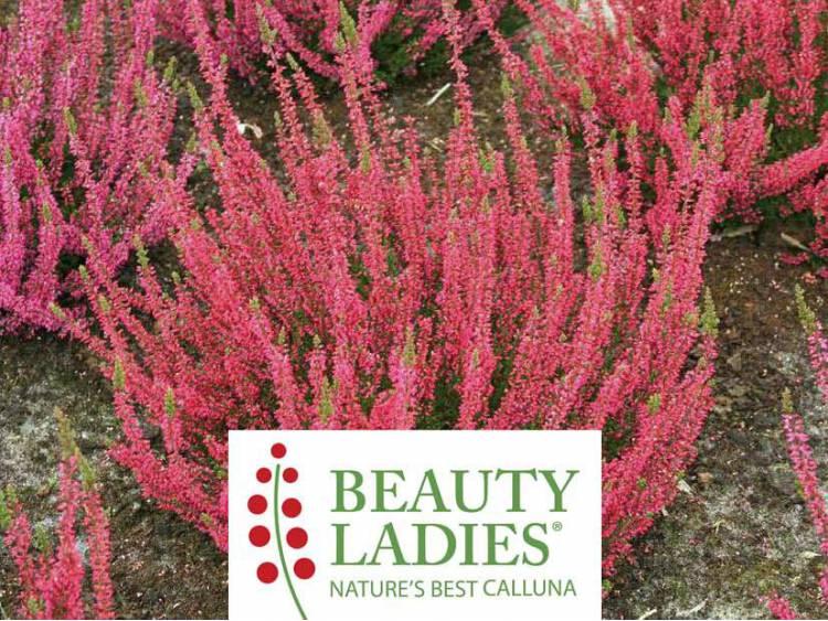 Wrzos Siska ® Beauty Ladies