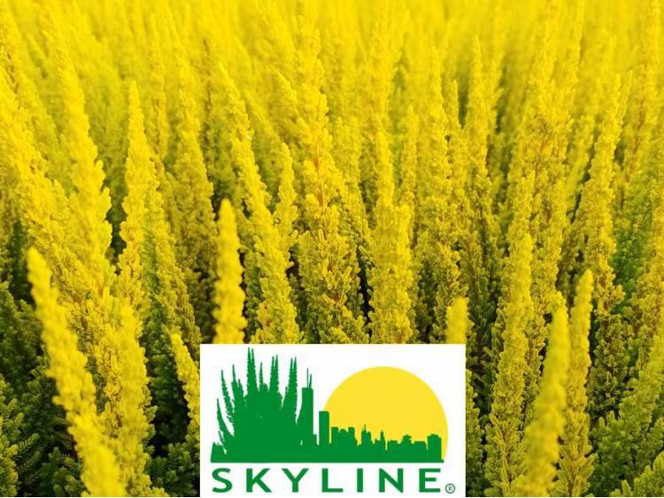 Wrzos Sydney ® Skyline