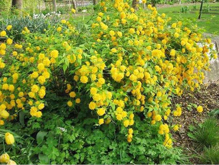 Złotlin japoński 'Pleniflora'