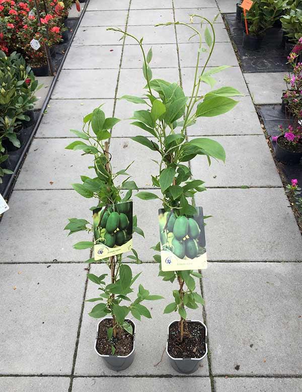 miniaturowe kiwi aktinidia issai samopylne pnacze sadzonki